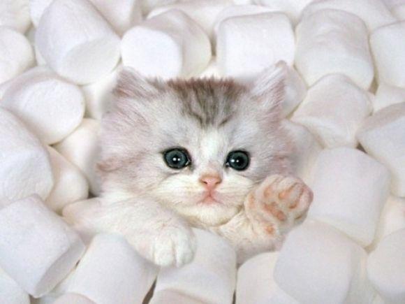 marshmallows stealing a kitty Cutest Animals Pinterest