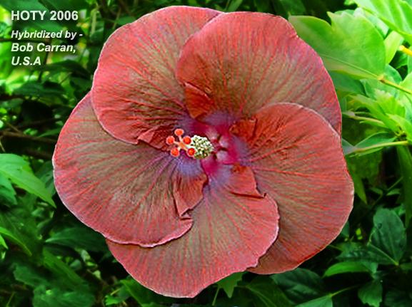 Homehibiscus Grand Slam Hibiscus Hibiscus Flowers Flowers