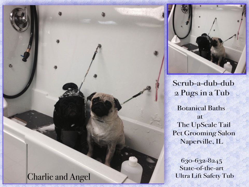 Safe and secure in our ultra lift safety tub at the upscale tail pugs angel charlie bathed groomed at the upscale tail naperville il solutioingenieria Image collections