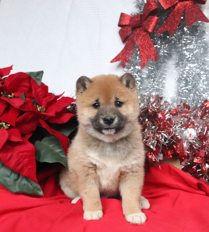 Puppies for Sale in 2020 (With images) Shiba inu, Shiba