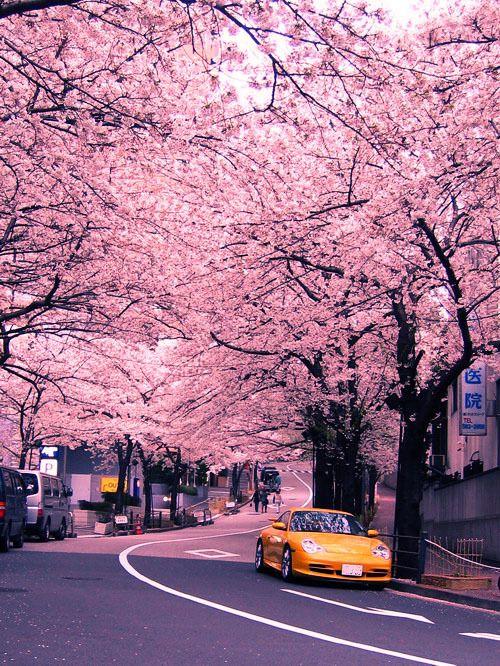 Cherry Blossom Japan Scenery Scenery Wallpaper