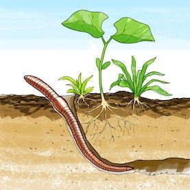 Squirmy Science: Which Soil Types Do Earthworms Like Best?: Scientific American