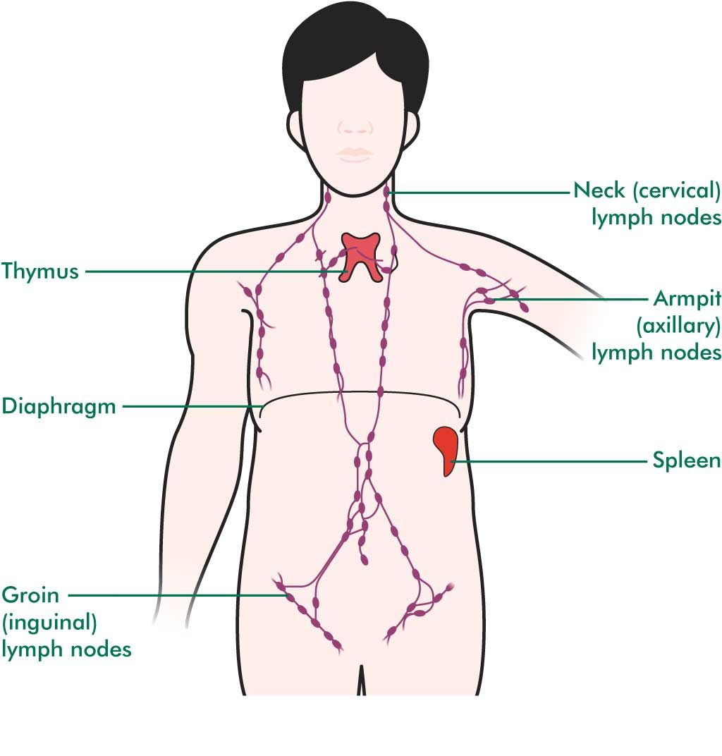 Labeled Diagram Of The Lymphatic System Koibana Info Lymphatic System Lymphatic System Cancer Lymph Nodes