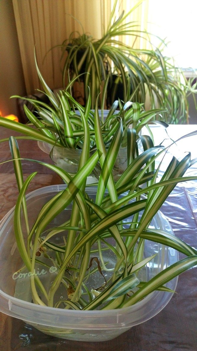 Propagating Spider Plant Babies Spider plant babies