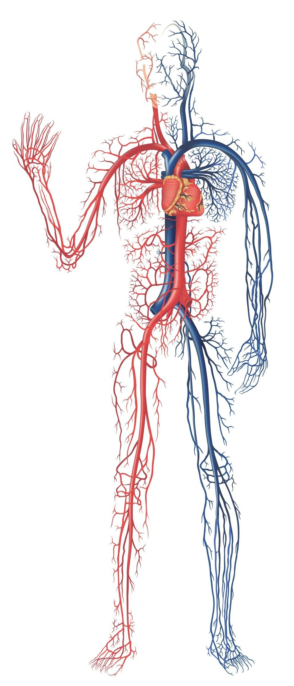 human-circulatory-system-not-labeled-the-cardiovascular-system ...