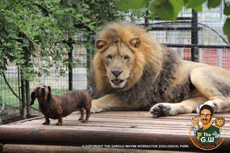 Dachshund And Lion Friends The Garold Wayne Interactive