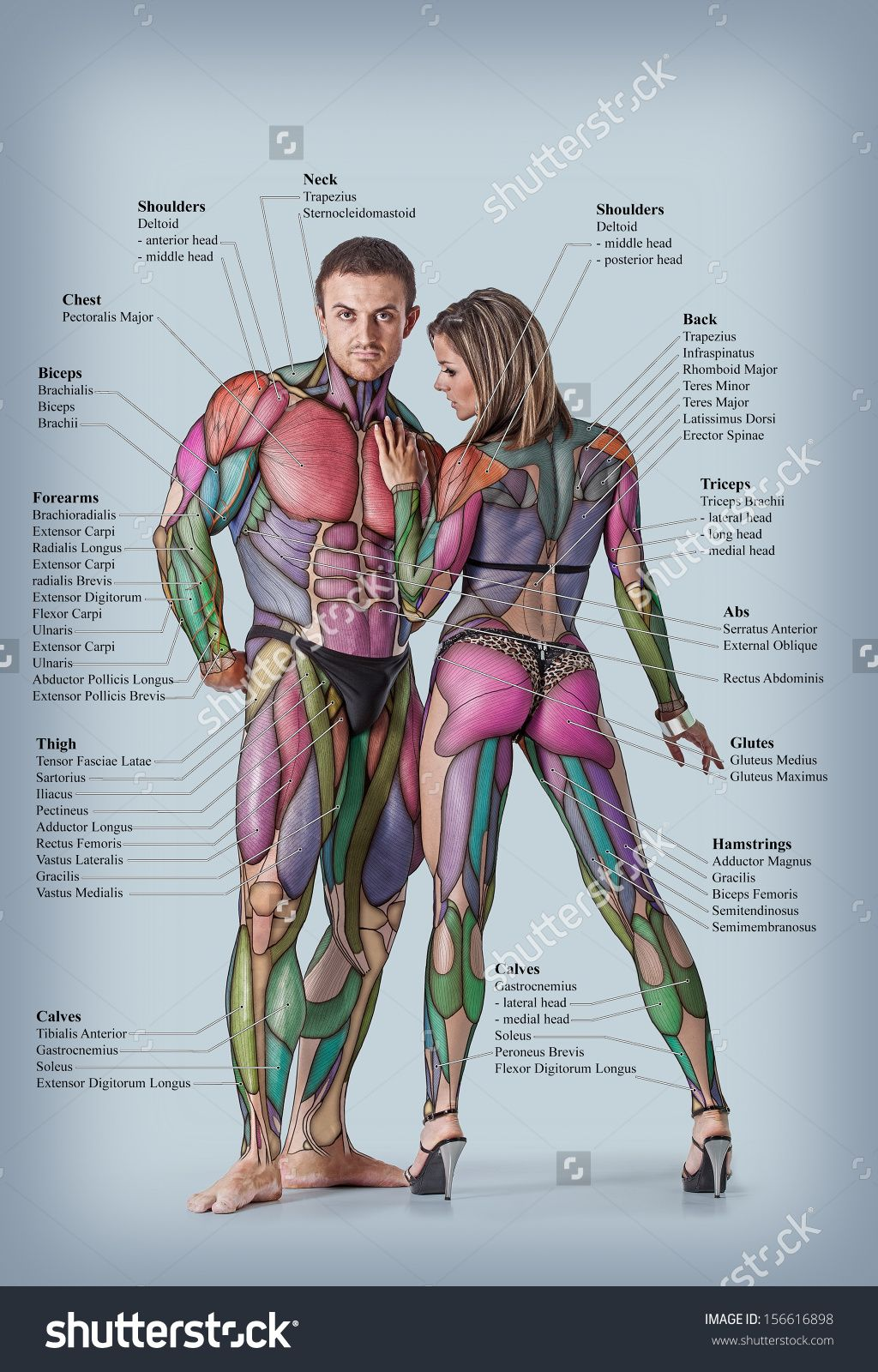 Full Body Major Organs Diagram Male - Online Schematic Diagram •