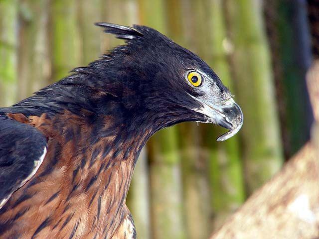 Aguila Copete de Los Andes