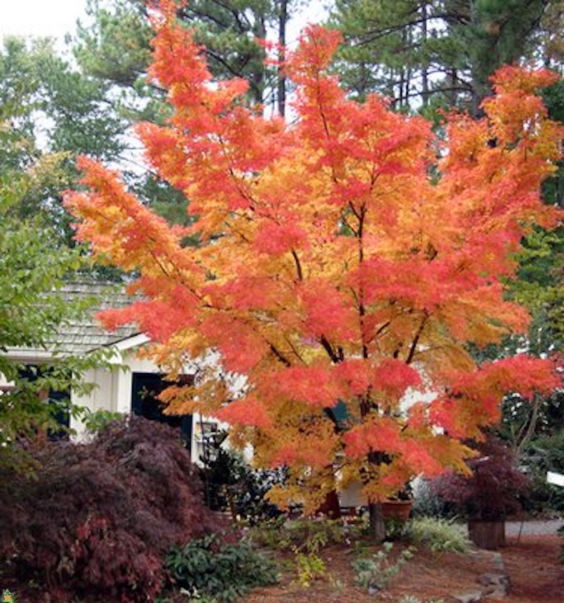japanese Red tree bark coral maple