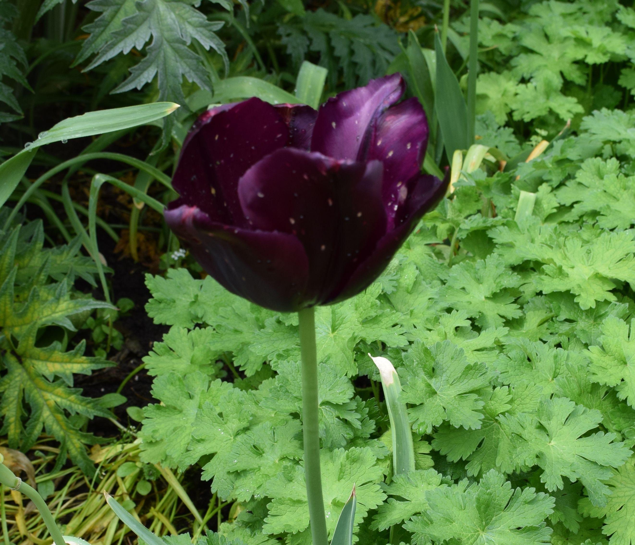 Tulip Café Noir Week commencing 09.05.16 Plants