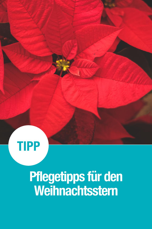 Der Weihnachtsstern ist unsere liebste Weihnachtsblume und perfekt in der Adventszeit. Wie ihr sie richtig pflegt, erfahrt ihr hier.