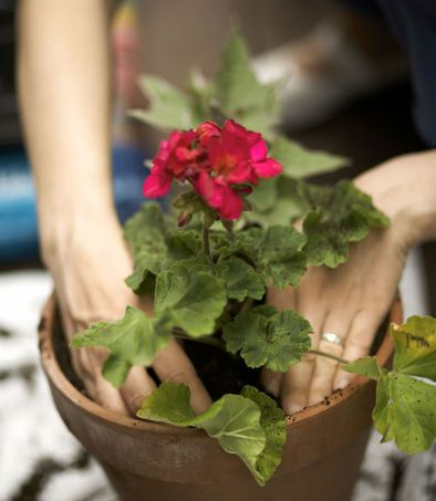 There is no greater gardening pleasure than putting the first Geranium in the first clay pot of the spring...