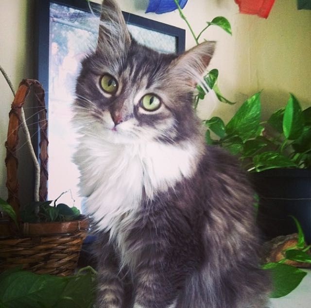 Owsley fluffy cat stopped growing at 6 months old