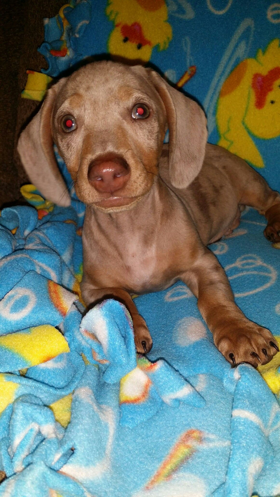 Dapple Dachshund Puppies Texas References