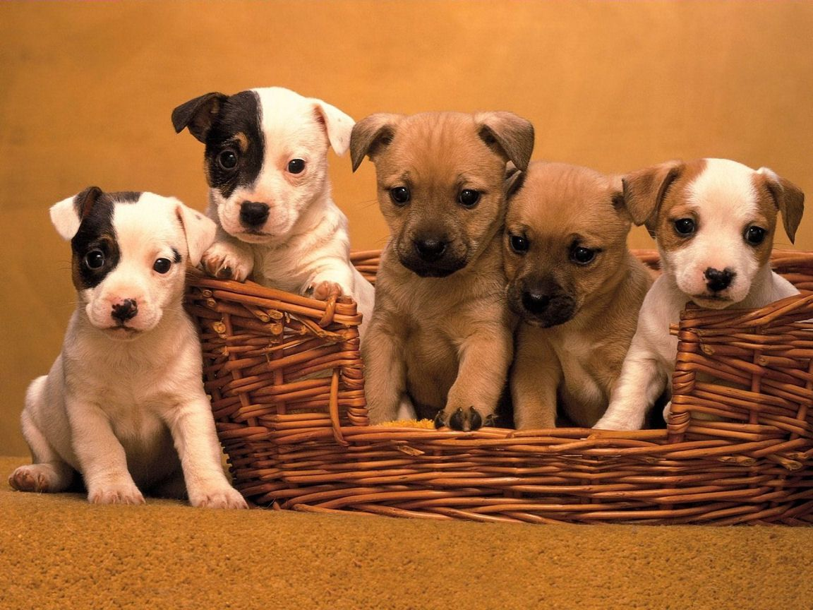 Cute Puppies Dogs Pics Jack Russell Cute Puppies Dogs Wallpapers Puppy Wallpaper Cute Dogs And Puppies Puppies