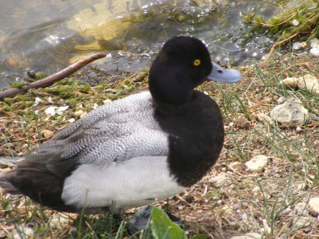 domestic duck breeds google search - Duck Breeds