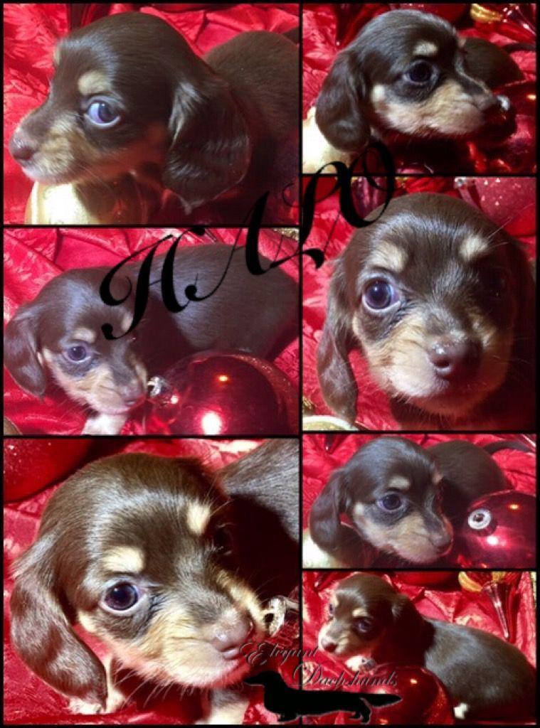 Chocolate and cream puppies elegant dachshunds dachshund