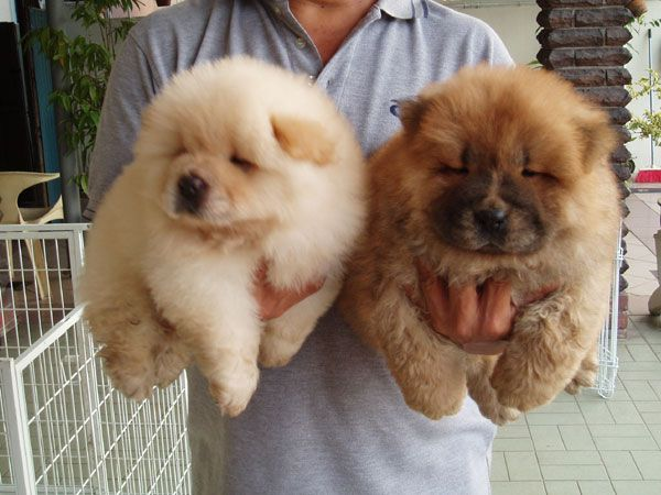 Baby Chow Chows Cute Animals Fluffy Dogs Fluffy Puppies