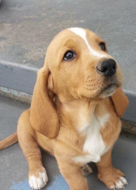 My Basset Lab Puppy Or Bassador For Short Cute Animals Cute