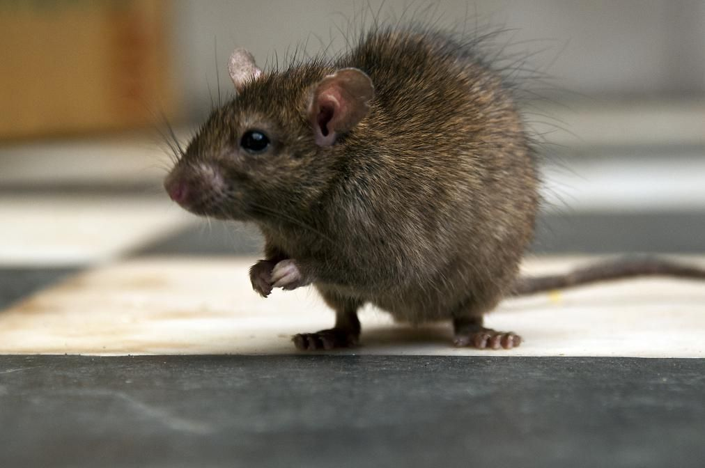 New Zealand Aims To Wipe Out Invasive Predators Getting Rid Of Rats Roof Rats Pet Rats