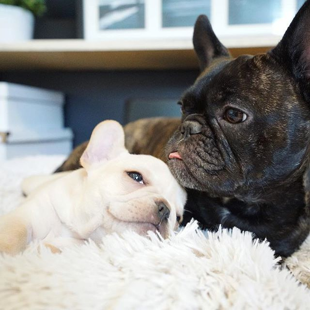 Frenchieleo Ardent Solar System Puppies And Kitties Cute