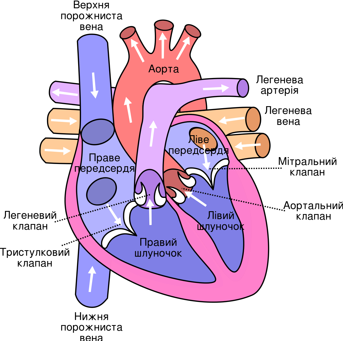 File Diagram Of The Human Heart Cropped Ukrainian Svg Human Anatomy And Physiology Human Heart Diagram Heart Diagram