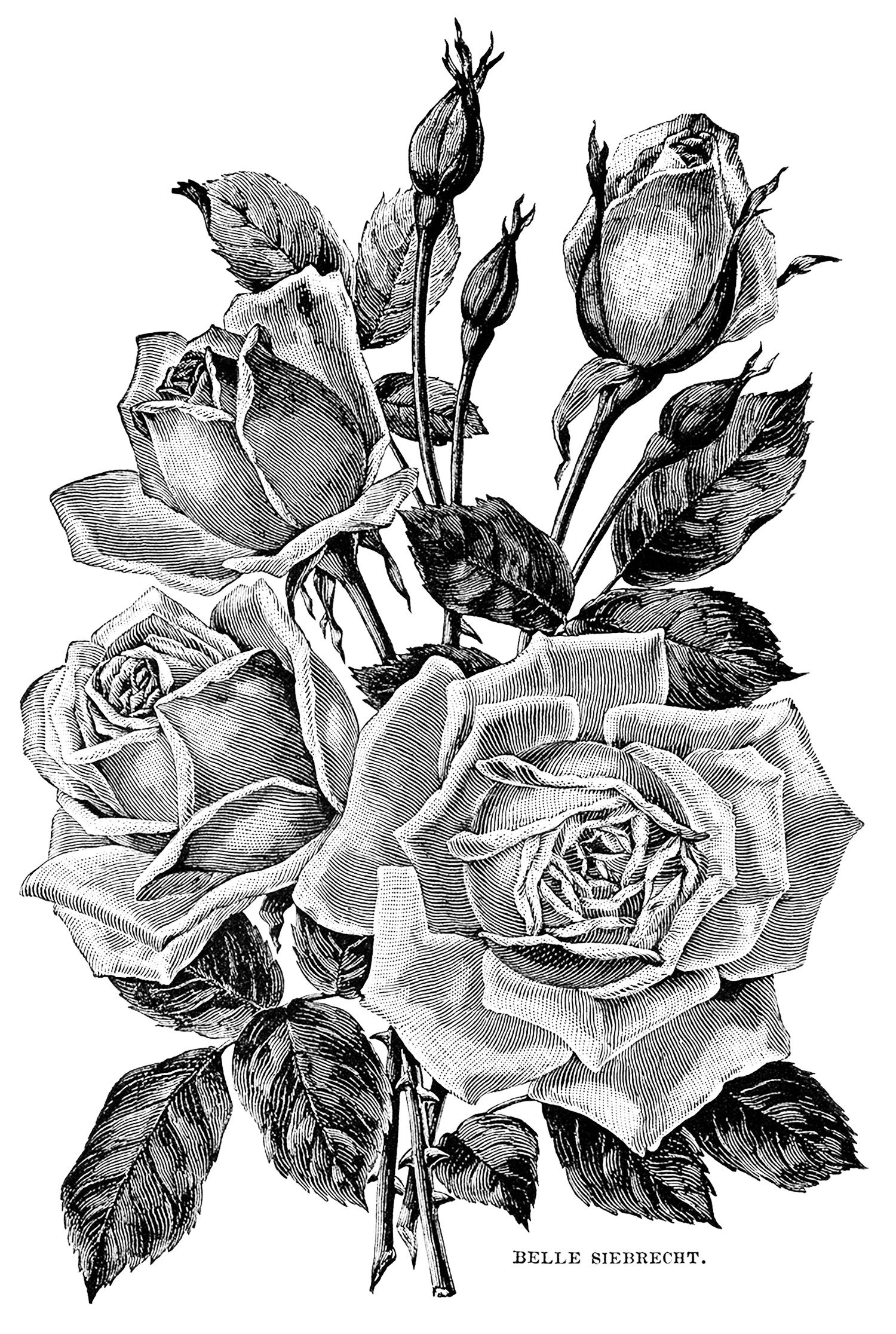 Roses vintage illustration from the gallery flowers and vegetation coloring pinterest - Dessin vegetation ...