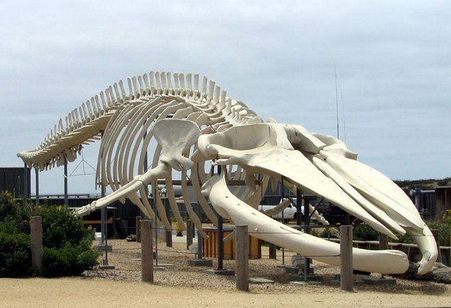 Blue whale skeleton | Specimens | Pinterest | Skeletons, Animal ...