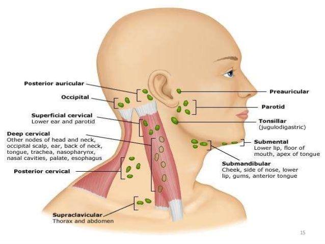 image result for occipital lymph nodes medical info lymph nodes Midbrain Diagram