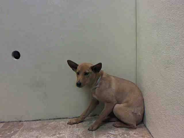 RTO SAFE - 03/31/15 Brooklyn Center  MIKO aka RALPH - A1031667  MALE, BROWN, CHIHUAHUA SH / AUST TERRIER, 1 yr STRAY - STRAY WAIT, HOLD FOR LOST&FOUND Reason STRAY  Intake condition INJ SEVERE Intake Date 03/29/2015 https://www.facebook.com/Urgentdeathrowdogs/photos/pb.152876678058553.-2207520000.1428006127./985626408116905/?type=3&theater