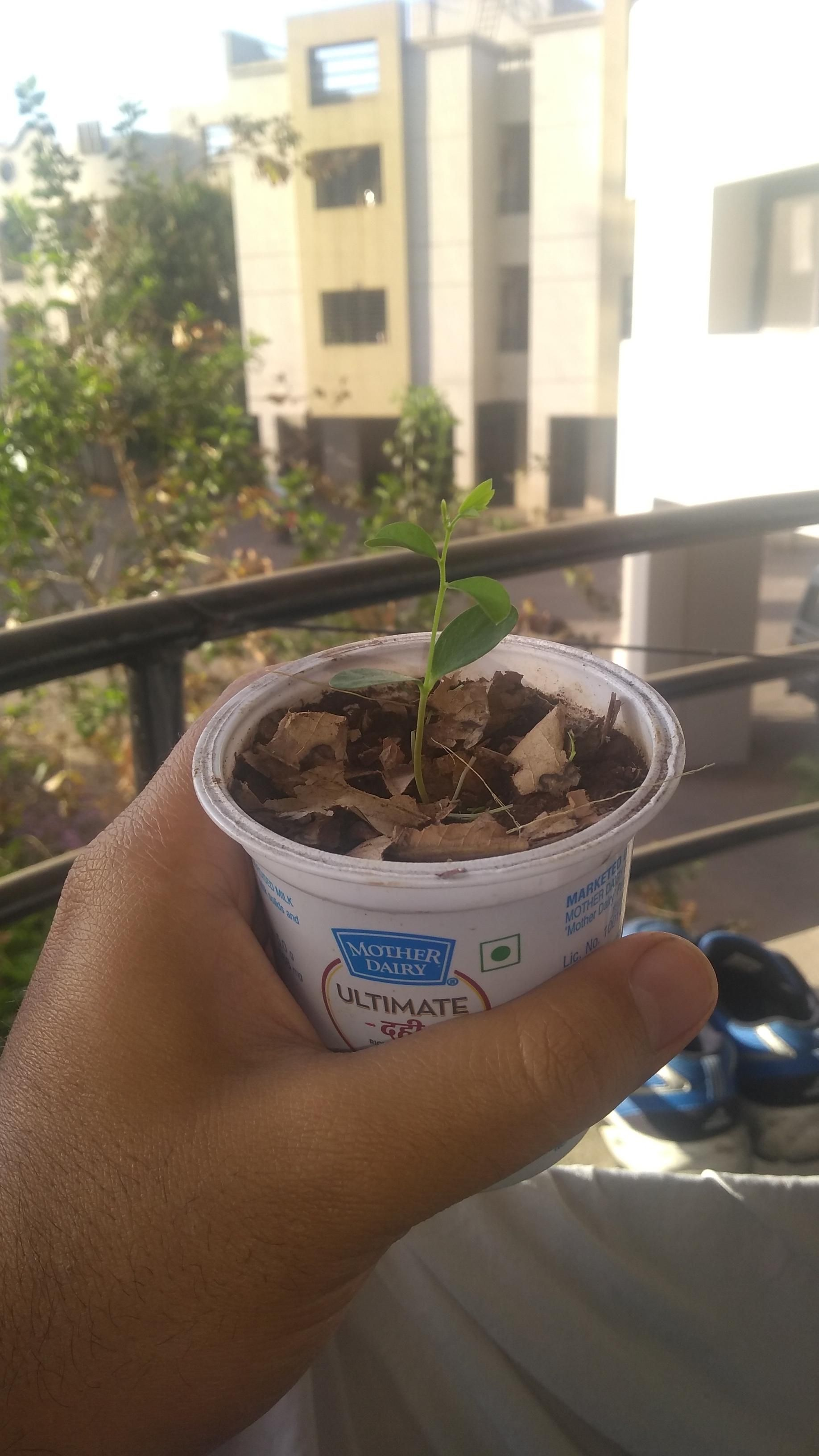 how to grow basil from seeds in india