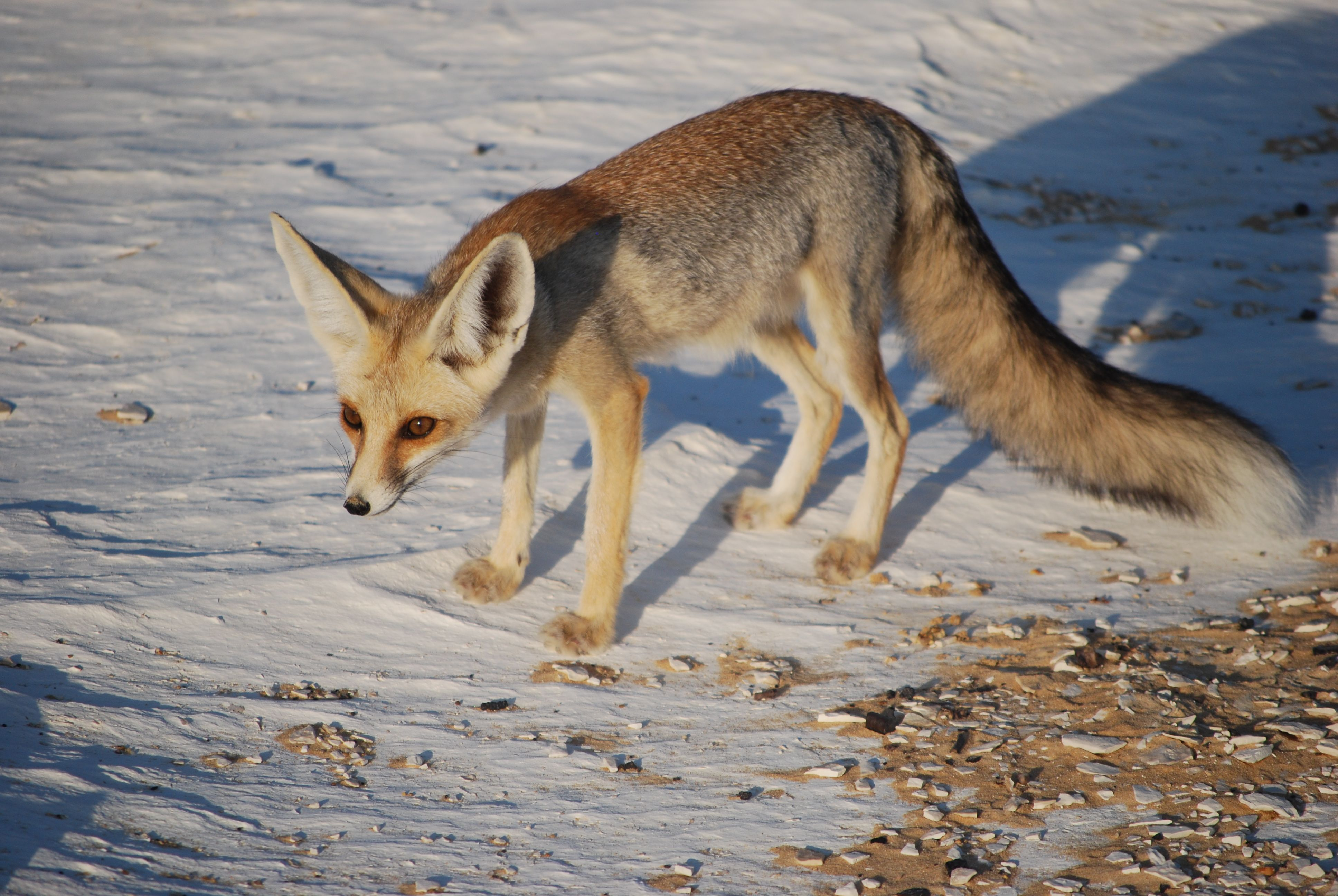 Rüppells Fox (Vulpes rueppelii) North Africa and the