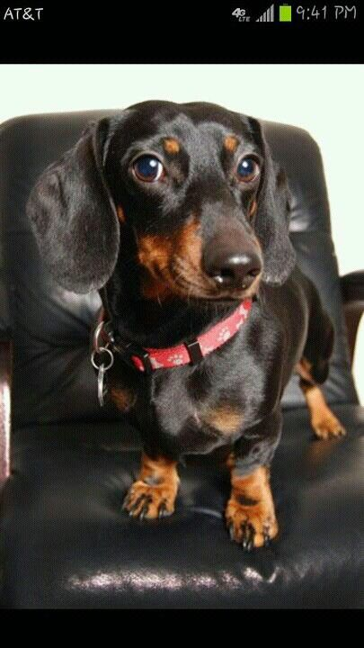 Beautiful Photo Of A Dashing Doxie Taken By Victoria Renard