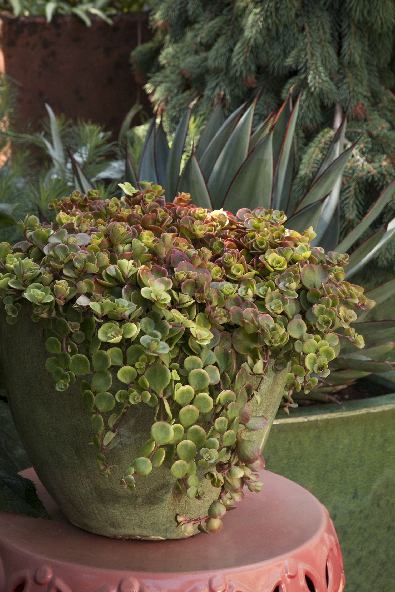 Chinese Sedum Turns A Showy Bronze And Burgundy Color In