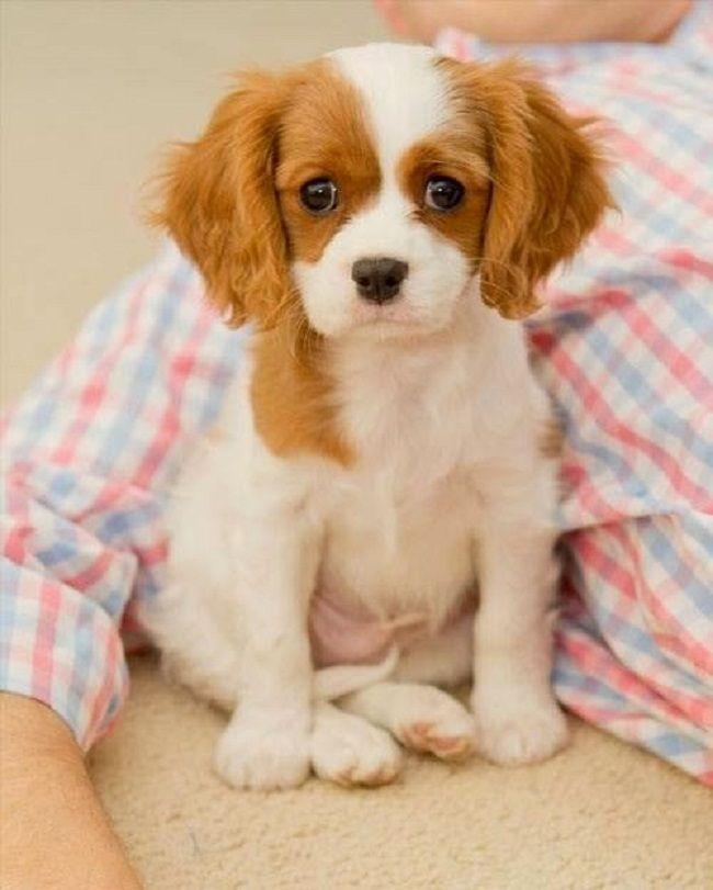 Spacedogs Org King Charles Cavalier Spaniel Puppy Spaniel Puppies Cute Animals