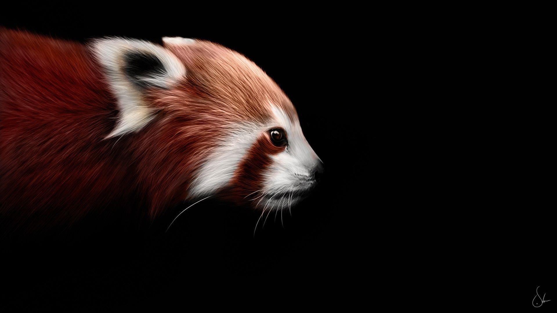 Red Panda On A Black Background Red Panda Panda Wallpapers Red Panda Images