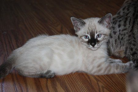 Gorgeous Charcoal Snow Bengal Bengal Cat Asian Leopard Cat Bengal Cat For Sale