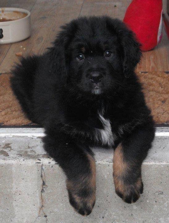 Yogi Newfoundland Bernese Mix Animals Pinterest Animals Puppies Dogs