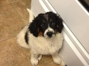 He Needs A Home Quinn Is An Adoptable Bernese Mountain Dog Dog In New Fairfield Ct Quinn Is The Biggest Of Bernese Mountain Dog Mix Dog Mixes Mountain Dogs