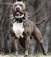 resultado de imagen para perros pitbull blue stanford