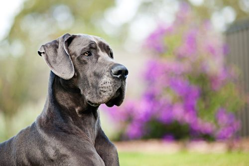 Blue Dane Just Like My Baby Hoosier Great Dane Dane