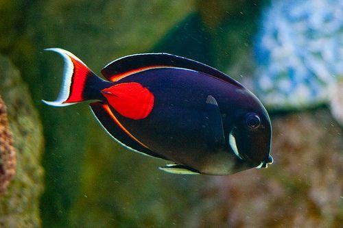 Achilles Tang Salt Water Fish Saltwater Fish Tanks Marine Fish