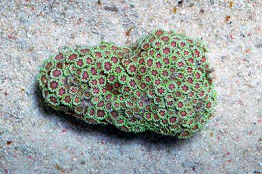 Pink center green flower pot coral goniopora spp reef life pink center green flower pot coral goniopora spp mightylinksfo