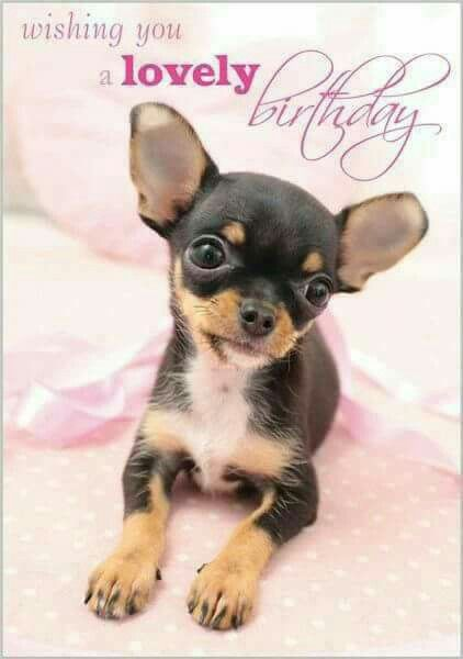 Pin By Cheryl Ivers On Birthday Cute Chihuahua Chihuahua Dogs