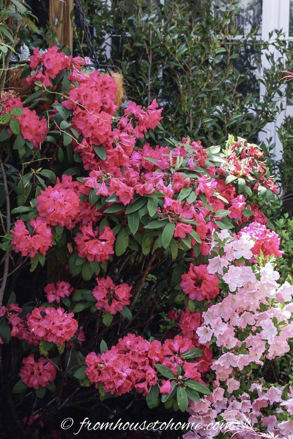 Rhododendron Care How To Grow Beautiful Rhododendrons And Azaleas Gardening From House To Home In 2020 Rhododendron Care Fairy Garden Pots Plants Under Trees
