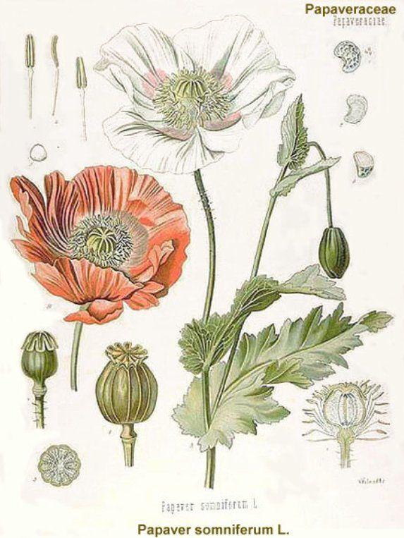 Opium Plant Diagram Poppy plant diagram | Nature's exquisite gifts ...