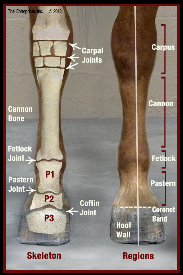 Lower Limb Front View | caballo | Pinterest | Anatomía, Caballos y ...