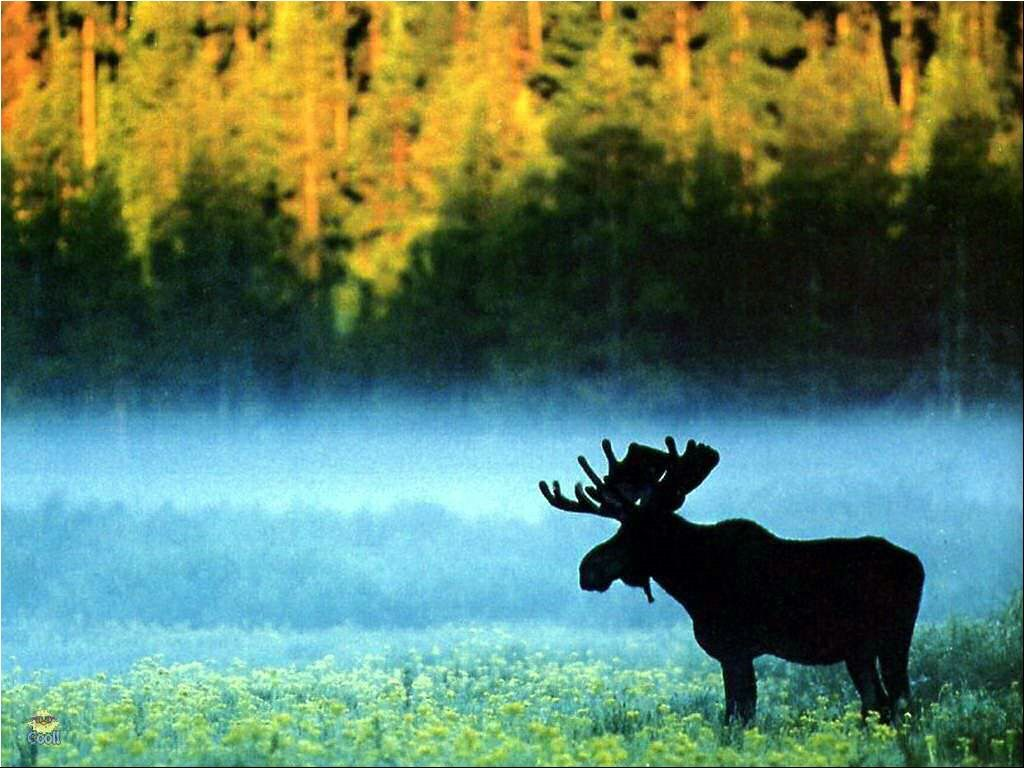 moose hd wallpaper - photo #22