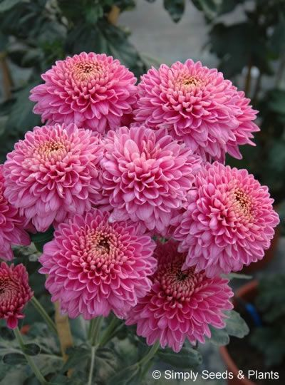 Chrysanthemum Purple Blenda A Bright Mauve Purple That Flowered From Late September In Our Spray Chrysanth Chrysanthemum Flower Aesthetic Chrysanthemum Flower