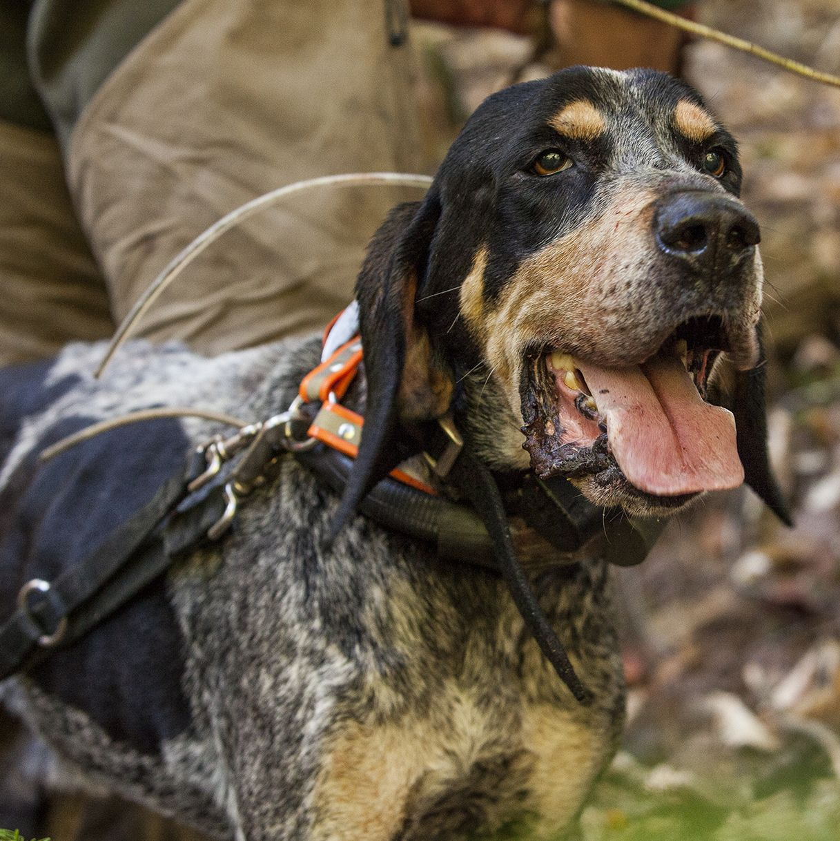 Chubbs. The best bluetick coonhound we have ever had. RIP